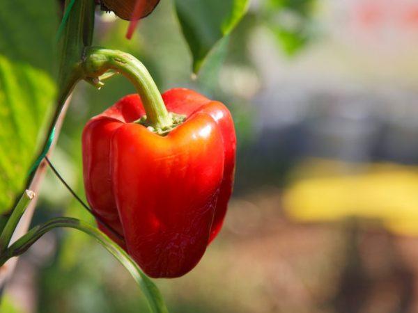 Характеристика сорта перцев Толстячок