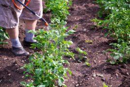Применение удобрения Кемира для картофеля