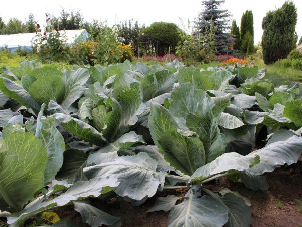 Удобрения поднимут иммунитет капусты