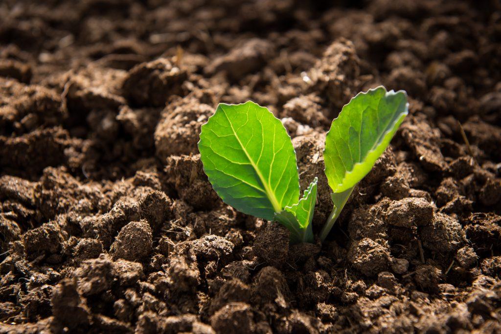 Как правильно высадить рассаду капусты в грунт