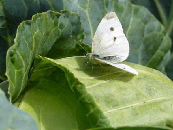 От бабочек необходимо избавиться