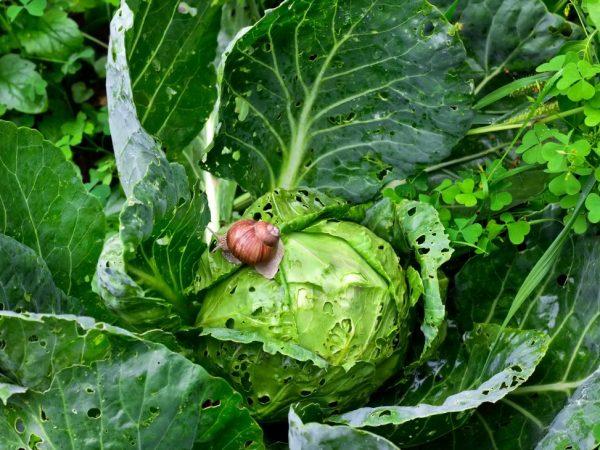 Галловые нематоды поедают капусту снаружи и внутри