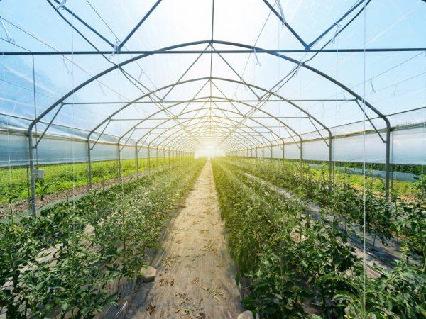 Высаживание томатов в теплицу