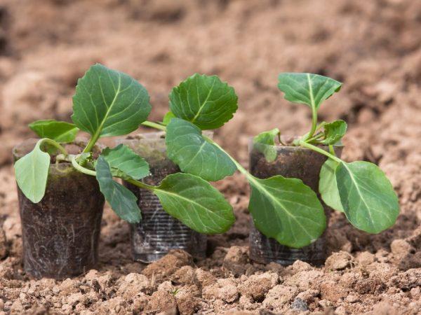 Растения пересаживают в большую емкость