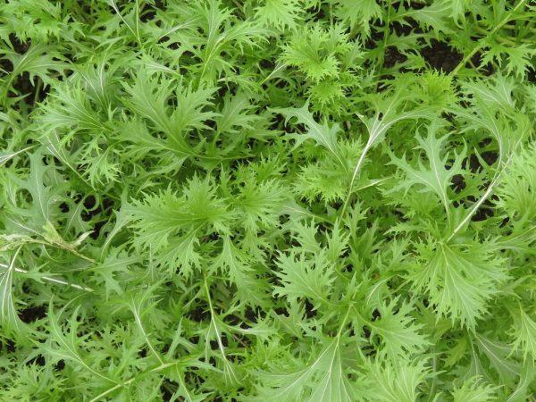 Капусту можно выращивать рассадой