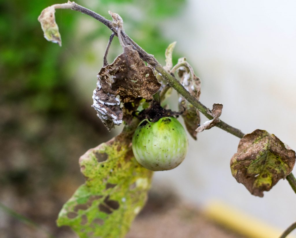 Баклажаны - выращивание болезни почему желтеют видео