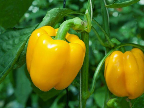 Характеристика Желтого перца