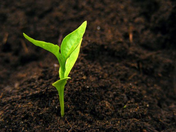 Рассадный метод выращивания повышает урожайность