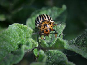 Применение Жукоеда от колорадского жука