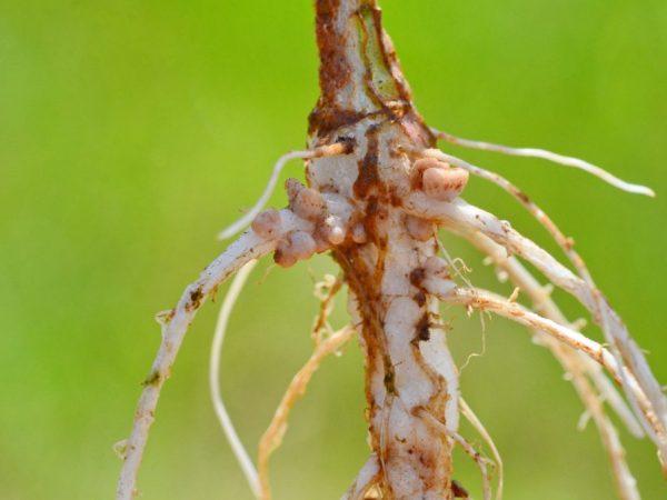 Причиной может стать нехватка микроэлементов в почве