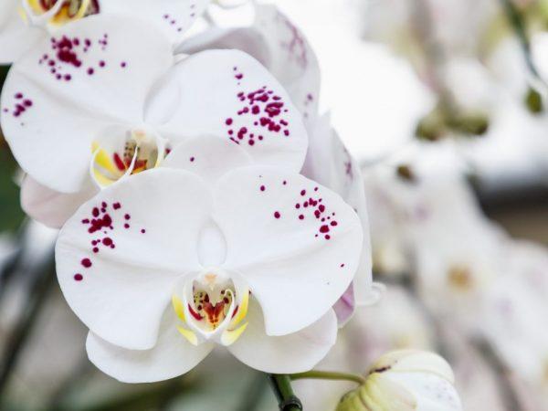 Применение Актары для орхидеи