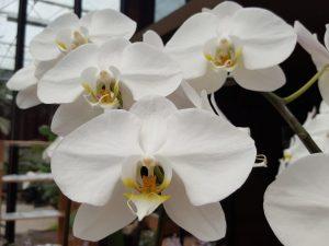 Выращивание белого Фаленопсиса