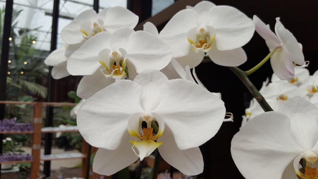 Орхидея Орхидея Фаленопсис белая - купить в Москве: интернет-магазин