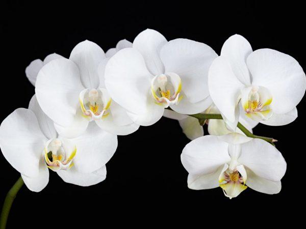 Орхидею нельзя засушивать