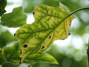 Существующие болезни баклажанов и их лечение