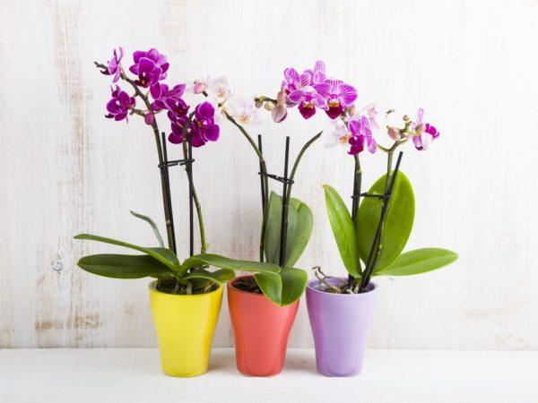 Опрыскивать и поливать цветы желательно в хорошо проветриваемом помещении