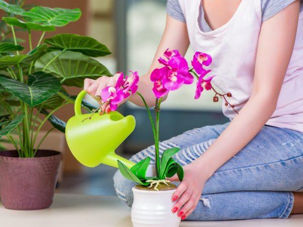 Орхидеи поливают чесночной водой корневым и некорневым способом