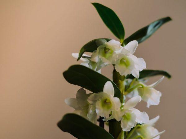 Описание растения Дендробиум Нобиле и уход за ним