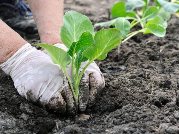 Высаживать нужно закалённую рассаду