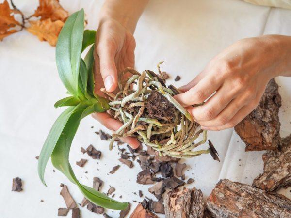 Обрабатываем корни растения