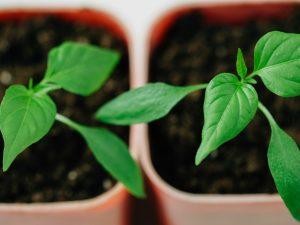 Выращивание перцев по советам Галины Кизимы