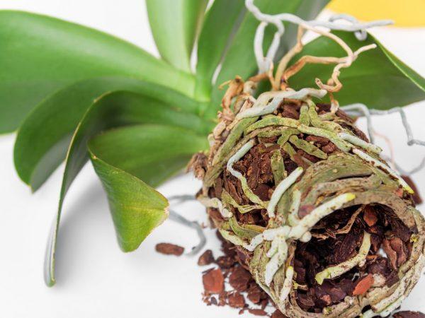 Наращивание корней у орхидеи