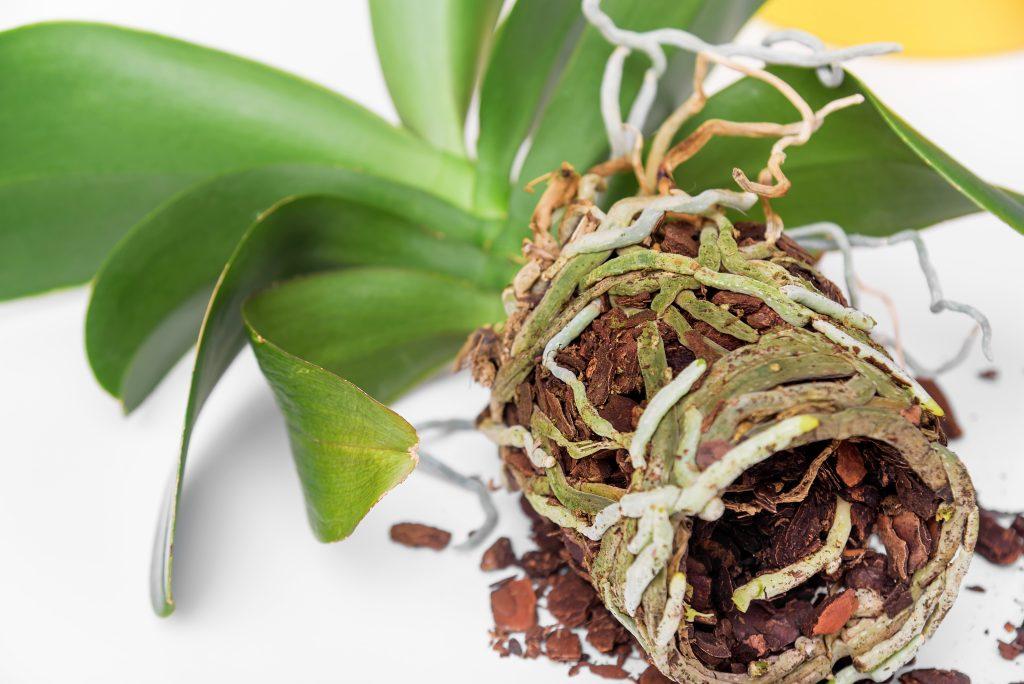 Как правильно отрастить корни у орхидеи