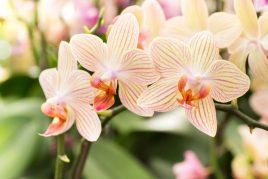 Как правильно рассадить орхидею