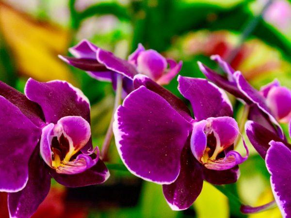 Посадка луковицы орхидеи из Вьетнама