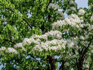Посадки груши весной в Подмосковье