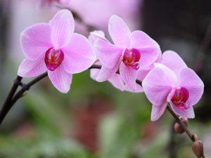 Пробуждение спящих почек орхидей