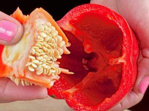 Проверка всхожести семян перца