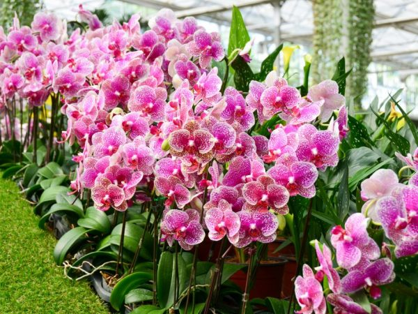 Особенности ухода за цветущей орхидеей