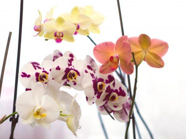Правила ухода за орхидеей фаленопсис