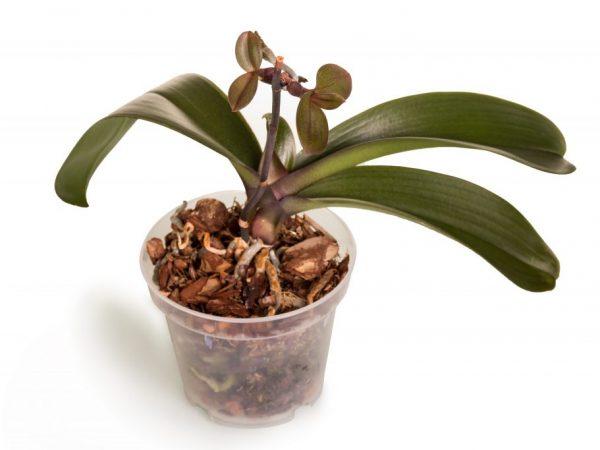 Как вырастить детку орхидеи из цветоноса — Цветы365
