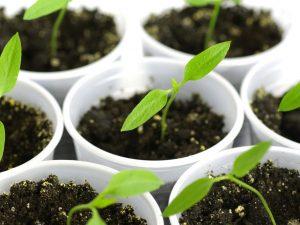 Выращивание рассады перца без пикировки