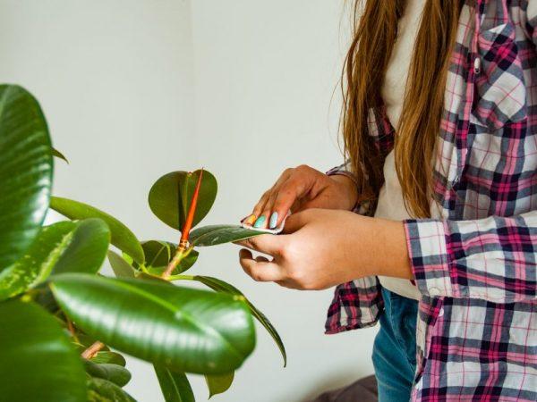 Правильное лечение позволяет избежать гибели растения