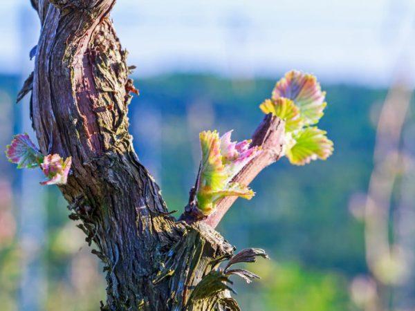 Когда лучше сажать виноград