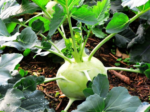 Особенности выращивания капусты кольраби