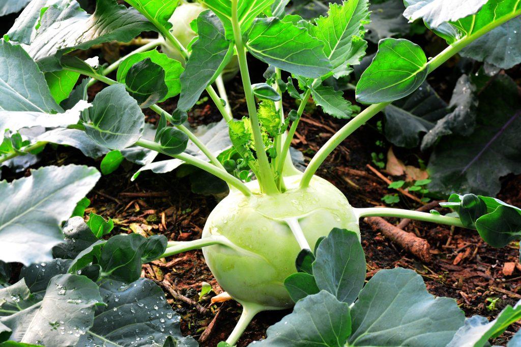 Капуста Кольраби выращивание и уход в открытом грунте с фото