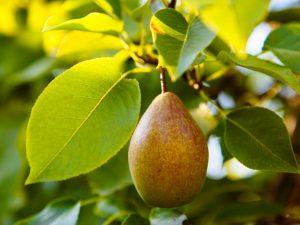 Описание летних сортов груш