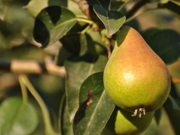 Сорт Кюре отличается урожайностью