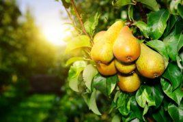 Сроки плодоношения груши