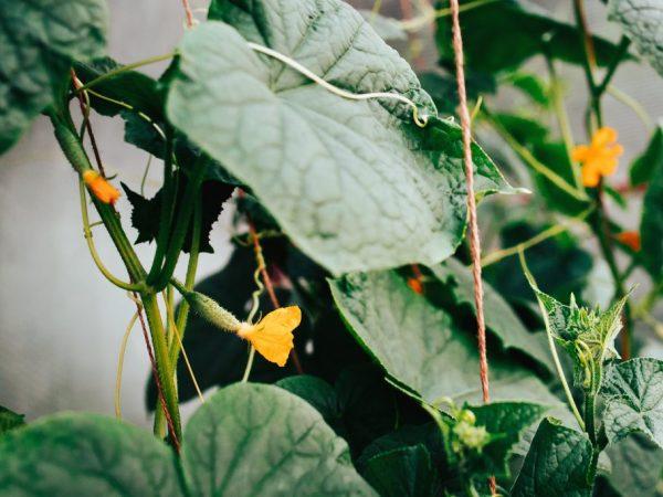У выращивания на шпалерах много преимуществ
