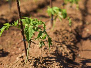 Польза нитроаммофоски для помидор