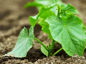 Выращивание огурцов по советам О. Ганичкиной