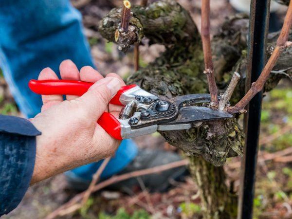 Заточенный секатор облегчит обрезку винограда