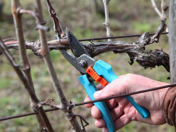 Самостоятельно создаем форму роста винограда