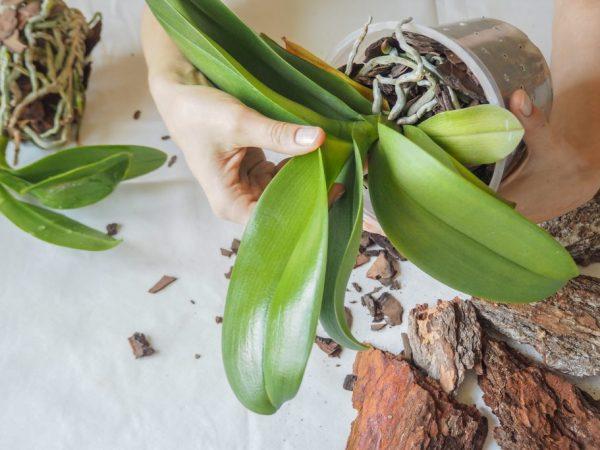 Если домашняя орхидея не выпускает цветонос, посмотрите на количество побегов