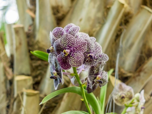 Выращивание орхидеи фаленопсис Клеопатра